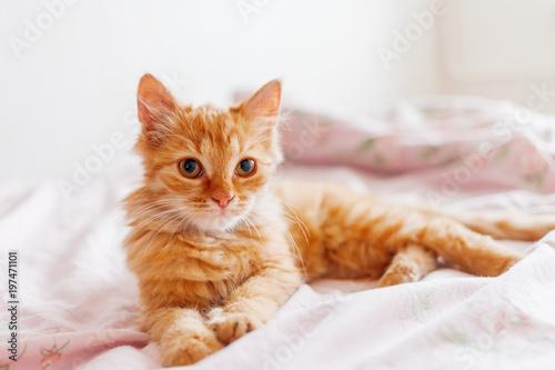 Śliczny imbirowy kota lying on the beach w łóżku. Puszysty zwierzak patrzy ciekawie. Zabłąkany kotek śpi na łóżku po raz pierwszy w swoim życiu. Przytulne tło domu, poranny snem.