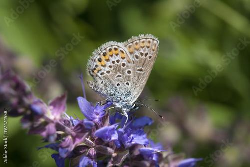 mały letni motyl na niebieski kwiat, wspólne niebieski, żeński, Polyommatus Icarus