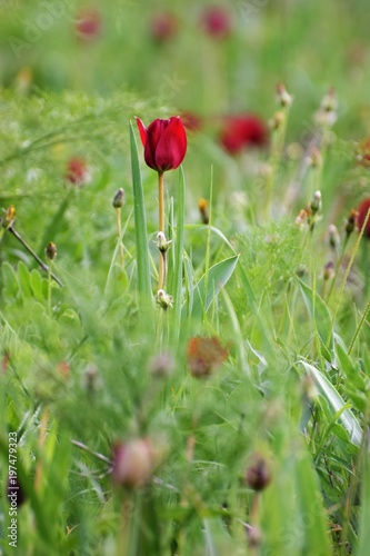 Fototapeta red wild tulips growing in the field of North Cyprus