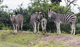 group of zebras in south africa in the wild nature