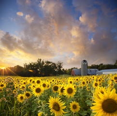 Sunflower field with dramatic sky