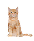 Front view picture of a sitting long haired red cat in a white studio