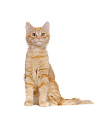 Ginger kitten in a white studio with big surprised eyes