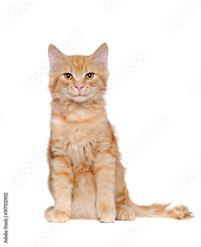 Front view picture of a sitting long haired red cat in a white studio - 197512902