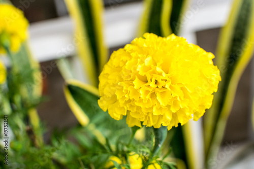 Marigold Is a beautiful bright yellow flowers.