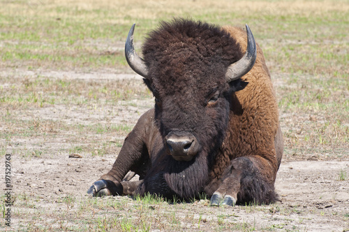 Aluminium Bison The Buffalo lies in the steppe.