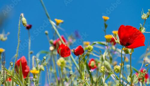 Field of Poppies, spring season