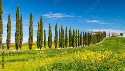Wiersz cyprysów w Toskanii