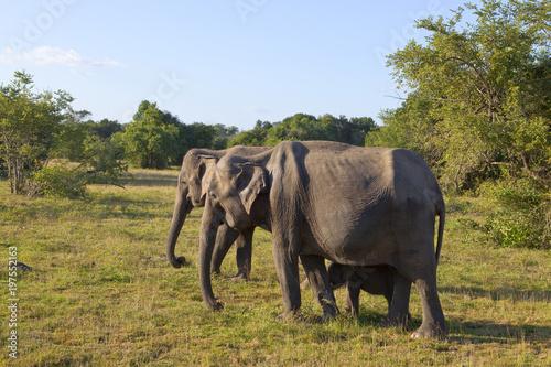 sri lankan elephant family