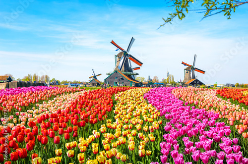 Leinwandbild Motiv Landscape with tulips, traditional dutch windmills and houses near the canal in Zaanse Schans, Netherlands, Europe