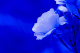 Blue rose petals on the blue isolated blurred background with clipping path. Closeup. For design, texture, background. Nature. Monochrome photography. - 197597598