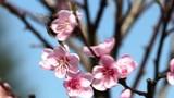 Bourdon au printemps butinant su un prunier - 197601919