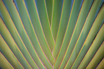 tropical leaf texture, large palm foliage nature green background