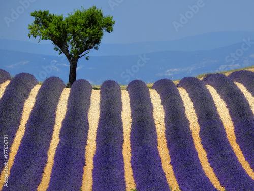 Fotobehang Lavendel Lavander field. Provence, France.