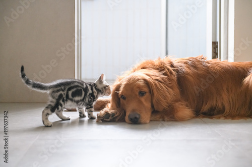 The kitten and the Golden retriever