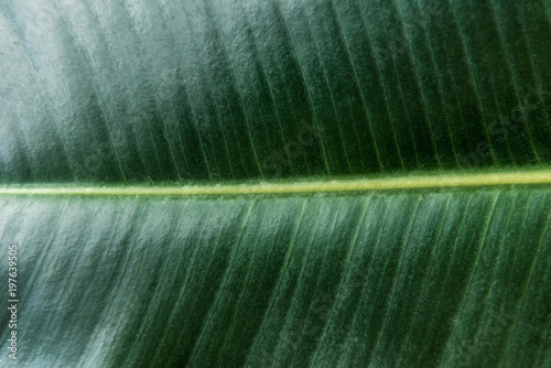 Large dark green leaf texture