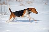 The Estonian hound runs on snow during training walk in fields