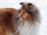 Fototapeta Portrait of the rough collie on a snow background