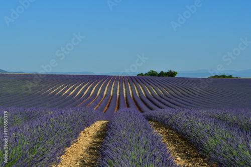 Fotobehang Lavendel Grand champs de lavande.