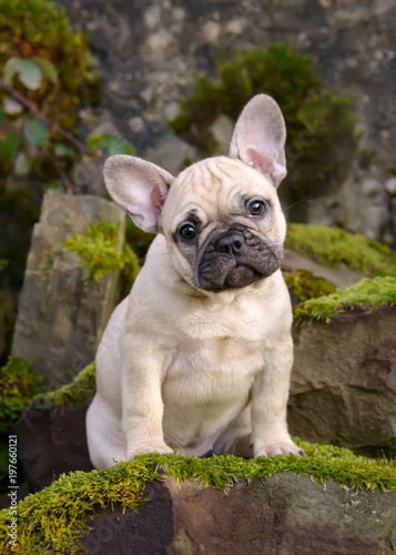 Foto op Plexiglas Franse bulldog Eight weeks old French Bulldog puppy, fawn colored female