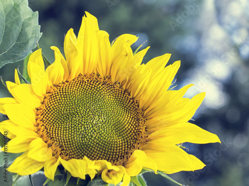 Plexiglas Geel Sunflowers garden. Sunflowers have abundant health benefits. Sunflower oil improves skin health and promote cell regeneration.