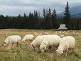 Tatry Wysokie, Polska - wypas owiec na Rusinowej Polanie