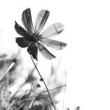 Cosmos flower on a white background. Black-and-white photo - 197687311