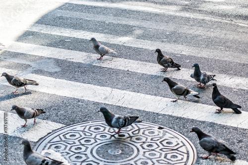 Aluminium New York Many pigeon birds flock flying in Midtown Manhattan New York City NYC urban street road, crosswalk, crossing closeup