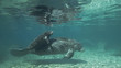Crystal River in Florida has fresh water springs were water temperature stays constant 25 centigrade throughout the year, critical for Manatees who need warm water to survive the winter.