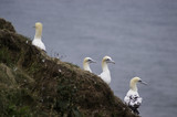 Gannet birds living on cliff tops showing bright blue eyes and large wingspan.