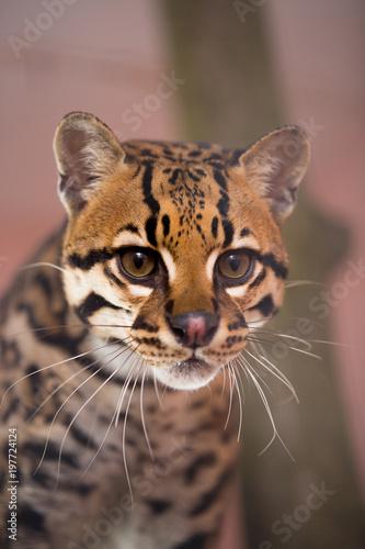 Foto op Plexiglas Panter Cat Ocelot