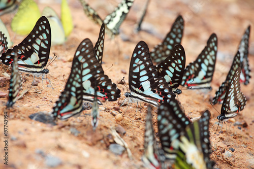 close up of colorful butterflies feeding on ground - 197743994
