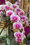 rosa weiße Orchideen Holland als Nahaufnahme mit schönen Bokeh