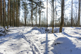 A Sunny day in a pine forest in early spring.