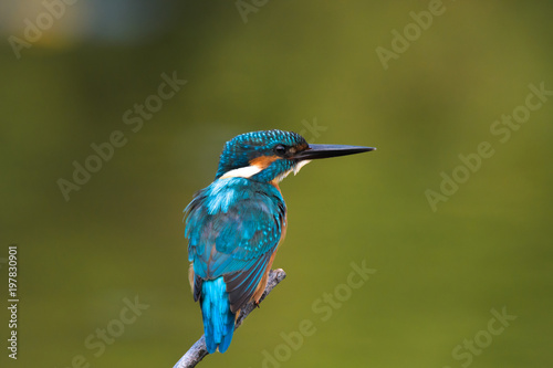 wspólny król fisher na zielonym tle, płytkie tło, ptak, ptasia