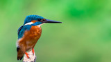 common king fisher on green background, shallow background, bird , avian