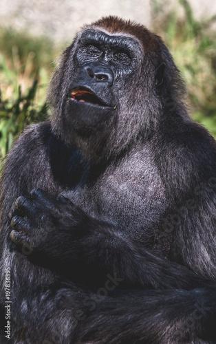 Fotobehang Bamboe Portrait of a chimpanzee