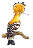 Hand-drawn hoopoe bird on the white background (isolated)