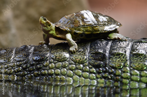 Brown roofed turtle on Gharial's back