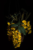 Yellow orchid, black background