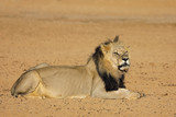 Big male African lion (Panthera leo), Kalahari desert, South Africa.