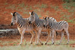 Three plains zebras (Equus burchelli) in natural habitat, South Africa.