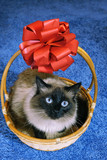 Beautiful cat in wicker basket on blue background.
