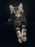 Handsome black tabby Maine Coon cat / kitten laying with paws haging over edge isolated on black background