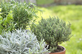 close on thyme potted with sage and rosemary in garden  - 197911321