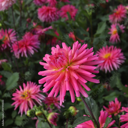 pink dahlia large flowers  growing in the flowerbed