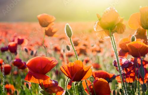 poppy flowers on the field in sunlight. beautiful summer nature background - 197914729