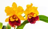 Orquídea close up