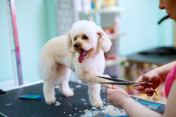 Young cute happy little white dog is having his fur on paws trimmed by a female animal hairdresser.