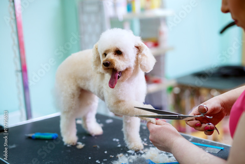 obraz lub plakat Young cute happy little white dog is having his fur on paws trimmed by a female animal hairdresser.